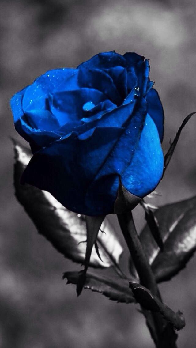 bfee92b5f I always wanted a blue rose   wallpapers for girls in 2019   Flowers ...