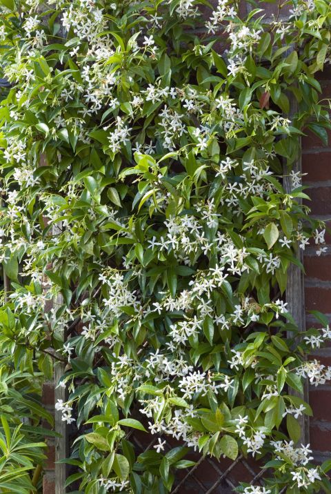 12 fast growing flowering vines for your garden gardens widely planted in california gardens this fragrant evergreen vine is great on walls garden posts and trellises but it can also be used as a groundcover mightylinksfo