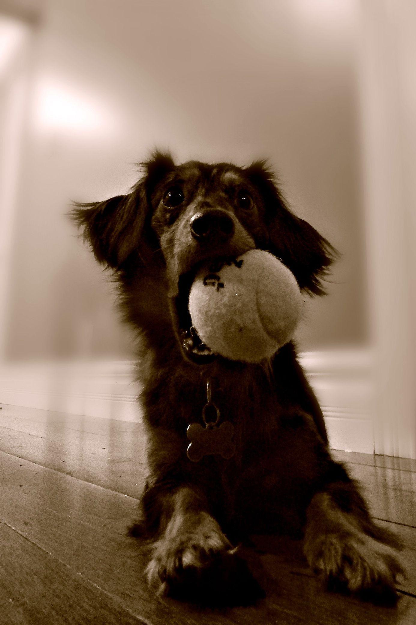 Oliver #doxie #dog #love #daschund