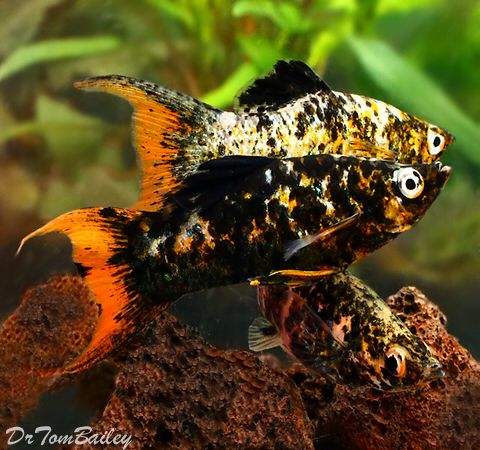 Orangetail Lyretail Molly Males Featured Item Orange Tail Lyretail Molly Fish Petfish Aquarium Aquariums Fres Aquarium Fish Tropical Fish Pet Fish