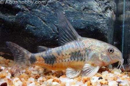 Peppered Cory Cat Corydoras Paleatus Fresh Water Fish Tank Freshwater Aquarium Fish Fish