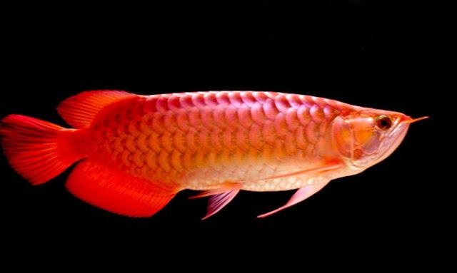 Pin Di Budidaya Ikan Cupang