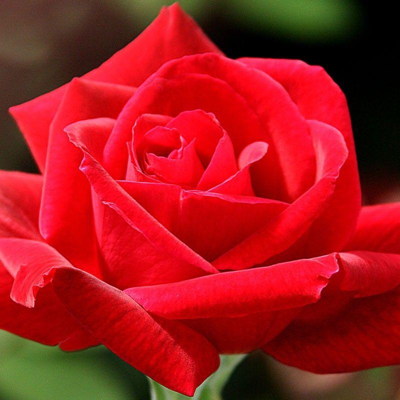 Chrysler Imperial Hybrid Tea Roses Heirloom Roses Rose