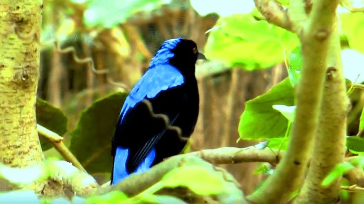 Ciri Ciri Burung Cucak Biru Dan Keistimewaan Yang Dimiliki