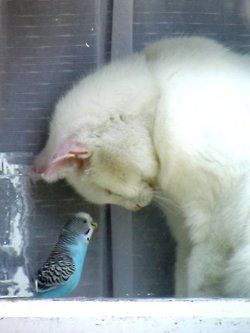 """This is a rare scene,birds are usually cat food,if they get near a cat,what a refreshing...sight.#Cat#white#bird#parakeet#blue by Elizebeth Wells >>>ew51...He is saying...Bird: Aren't you ashamed of yourself??? HUH"""""""