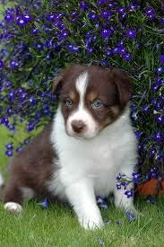 Beautiful Chocolate Border Collie Puppy Love Em Collie Puppies