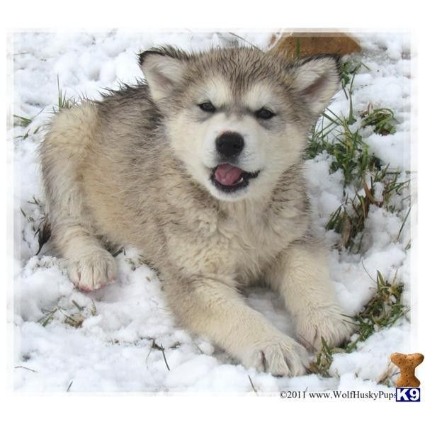 Pin By Hannah Butler On My Style Wolf Dog Puppy Puppy Cam Wolf Dog