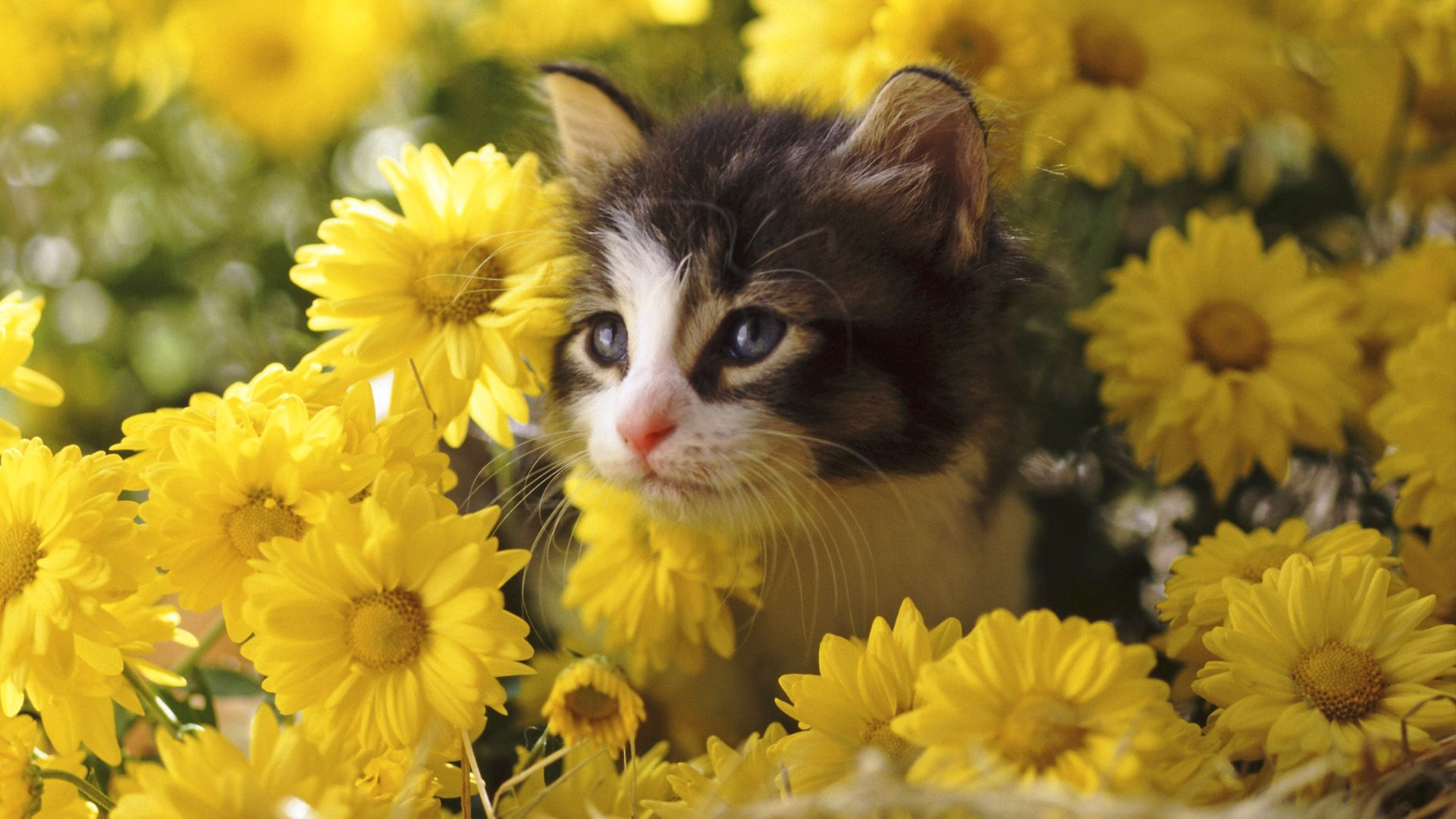 cats in spring computer background 50 Free HD Cat