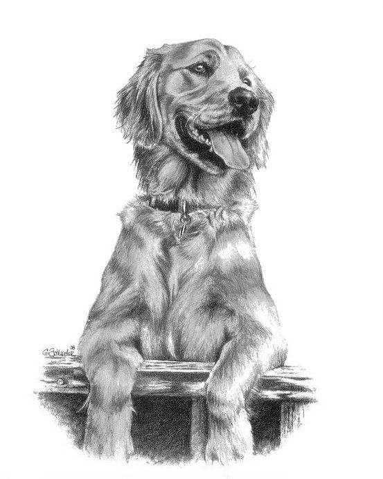 "Kali the #Golden #Retiever Sketch. 11x14"" piece done in graphite pencil by artist Genevieve Schlueter. More #pet portraits are at www.gensart.net"