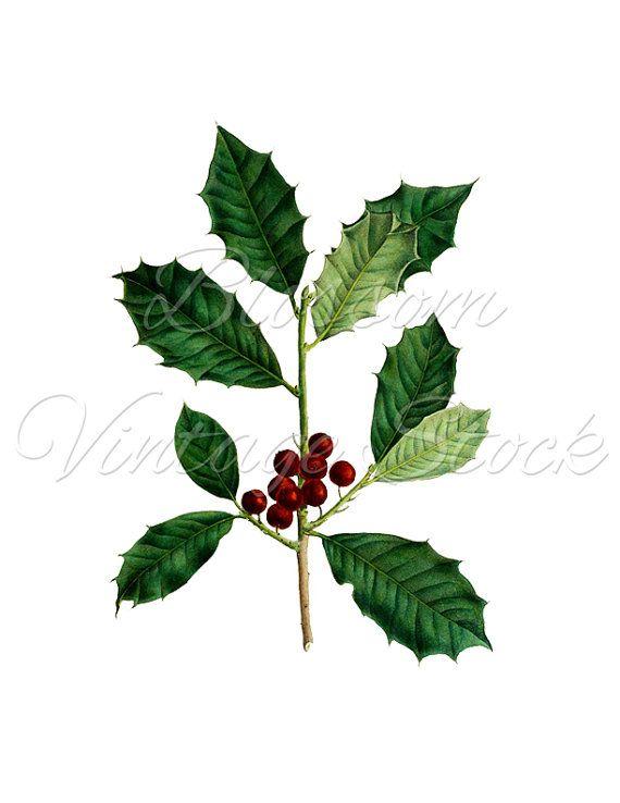 Mistletoe Botanical Print, PNG Leaves Image - Digital Antique