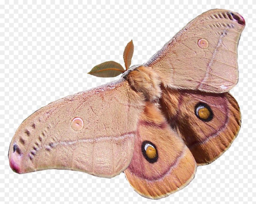 Polyphemus Moth Png Kevin Levrone Keep Saying 8 Moths 1116 891 Png Download Free Transparent Background Polyphemus Moth Png Png Dow Moth Png Room Posters