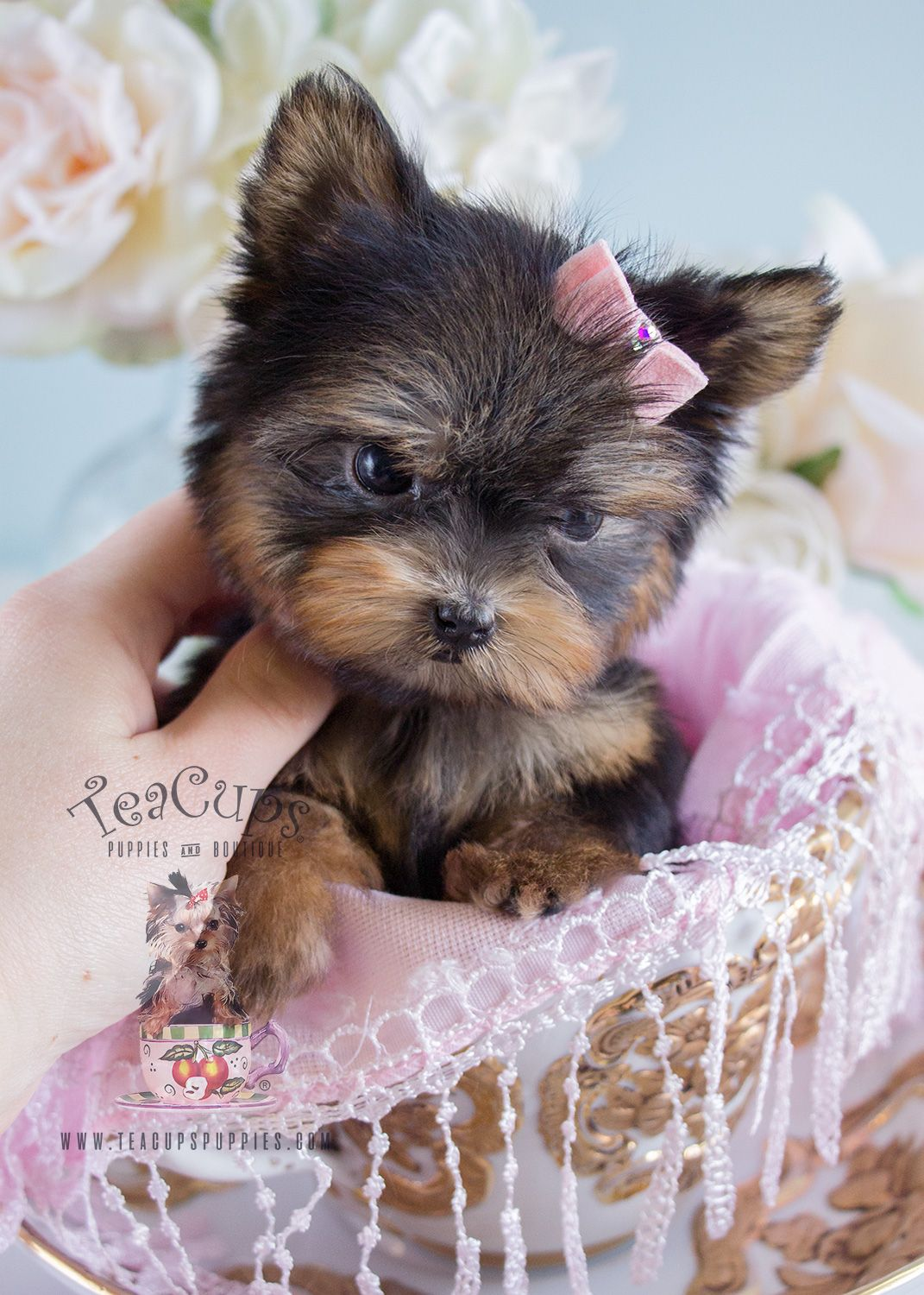 Teacup Yorkie Puppy Teacup Yorkie Puppy Teacup Puppies Yorkie