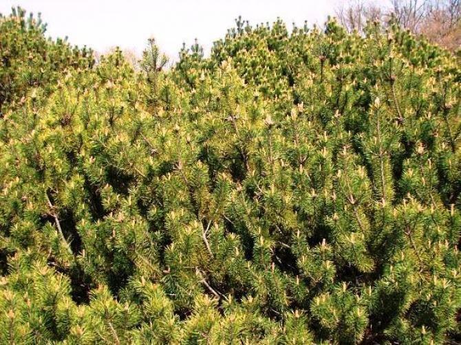 Brazowienie Igiel Iglakow Plants Farmland Outdoor