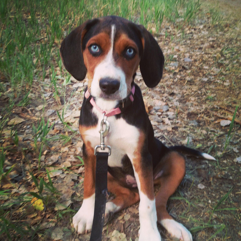 A houndrottweiler mix with a little bit of husky puppy