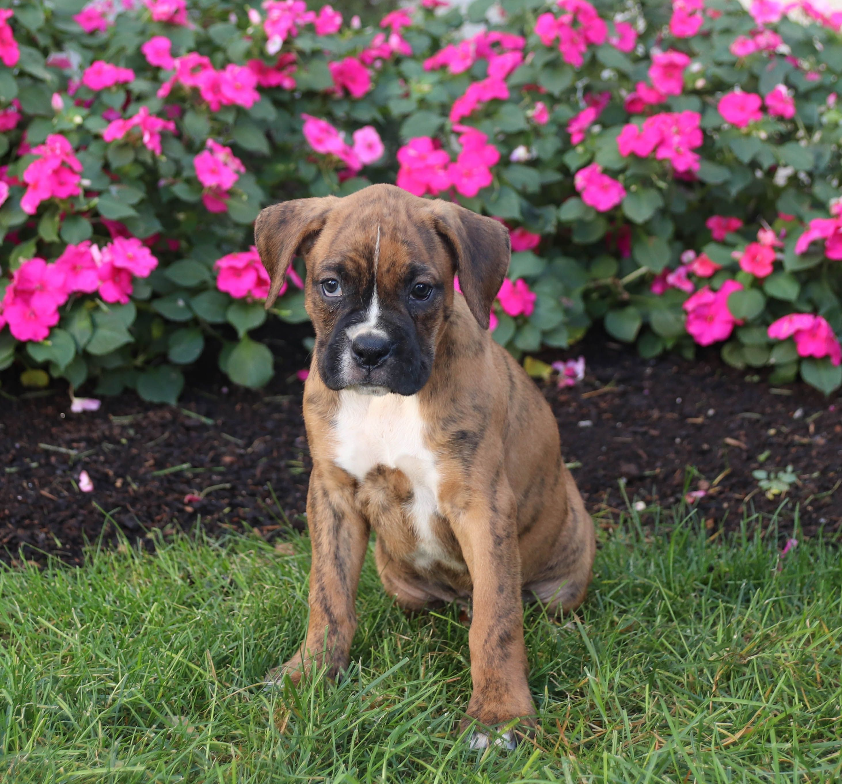 Puppies for Sale Dog breeder, Boxer puppies, Lancaster