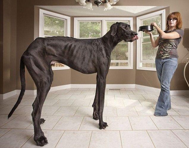 Great Dane Zeus Named The World S Tallest Living Dog