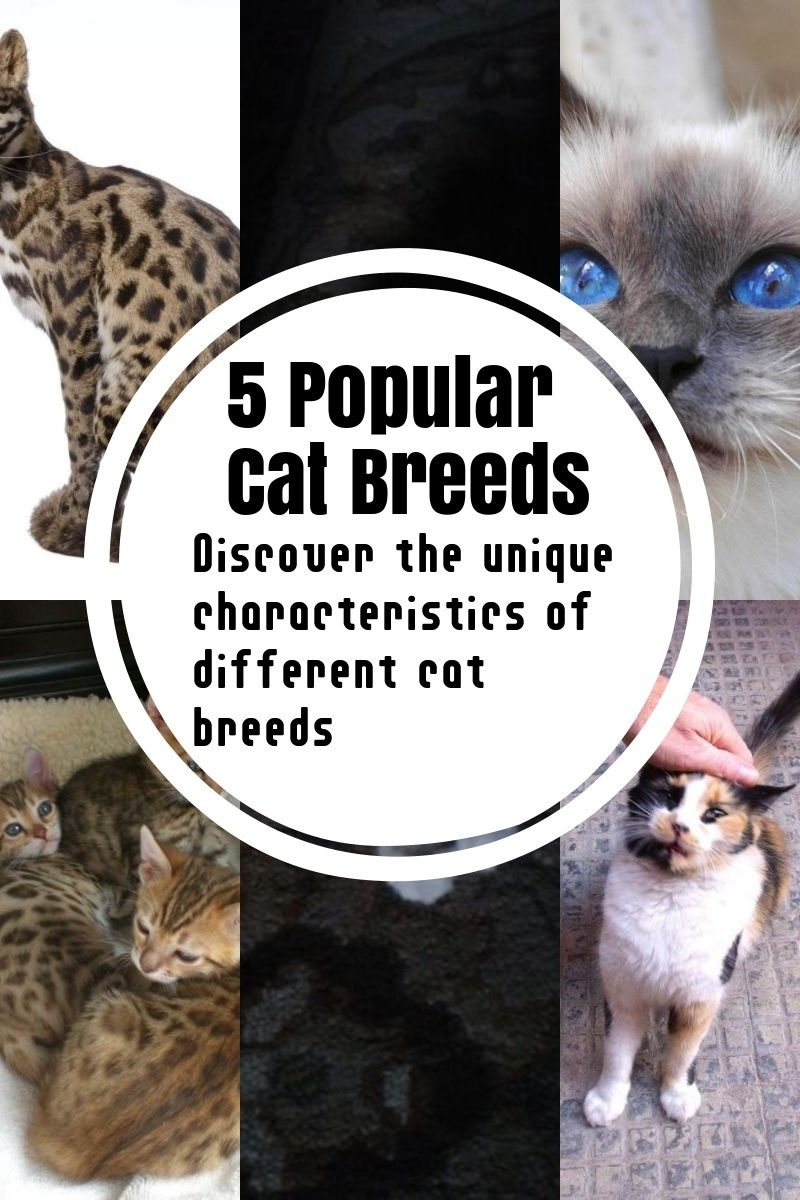 The Most Common Cat Breeds Common Cat Breeds Cat Breeds Popular Cat Breeds
