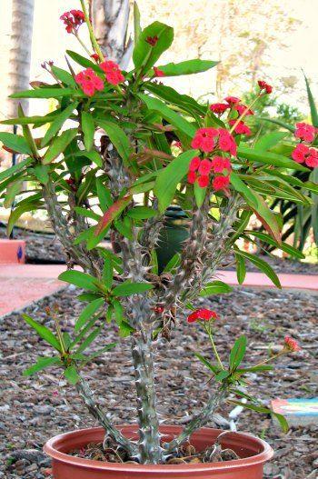 Euphorbia Crown Of Thorns Large Succulent Plant Landscape With Cactus And Succulent Plants