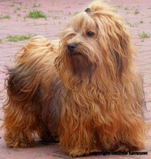 Havanese Hunde Havaneser