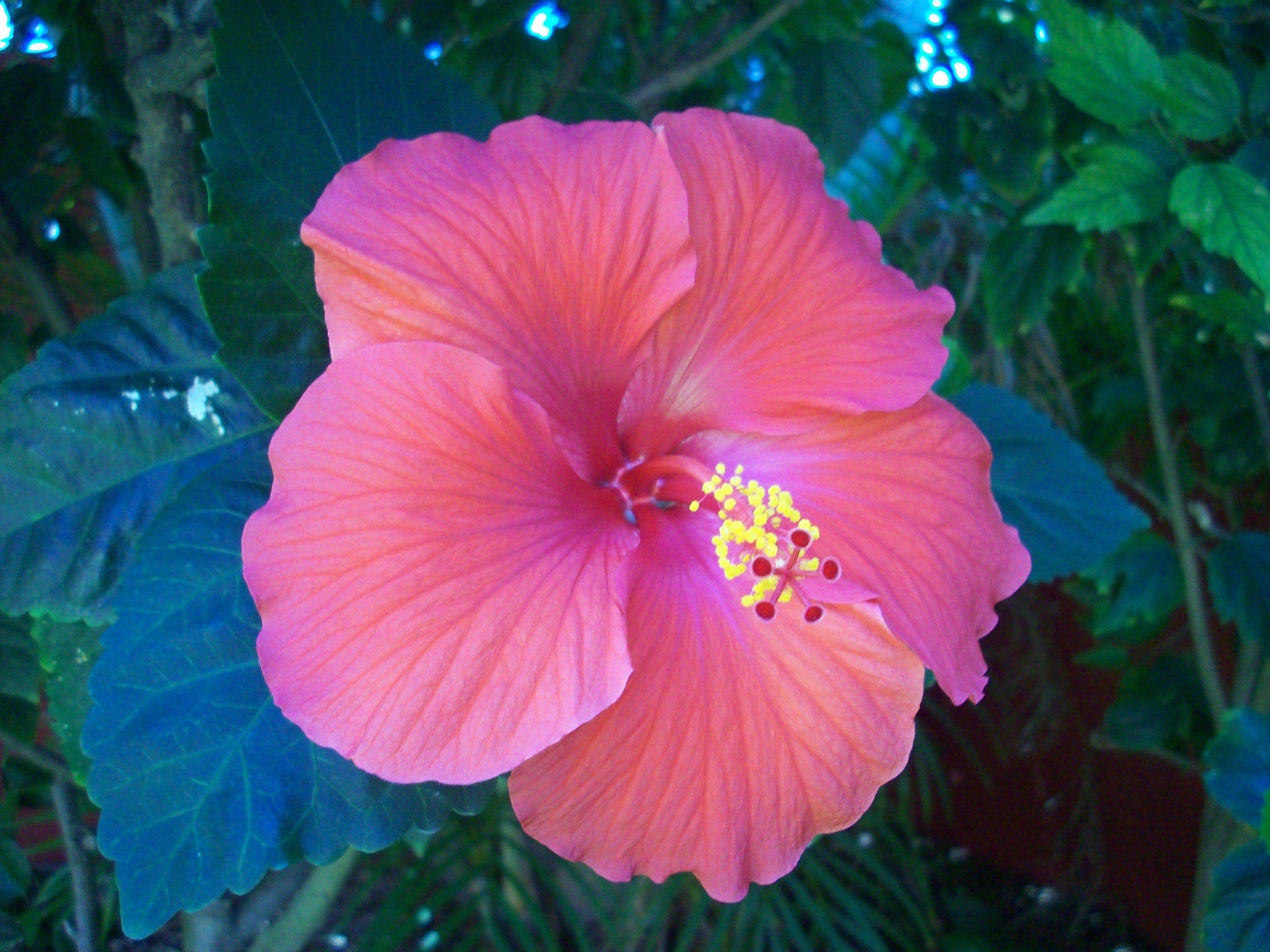 Pink Hibiscus Flower Flowers Trees And Beautiful Skies
