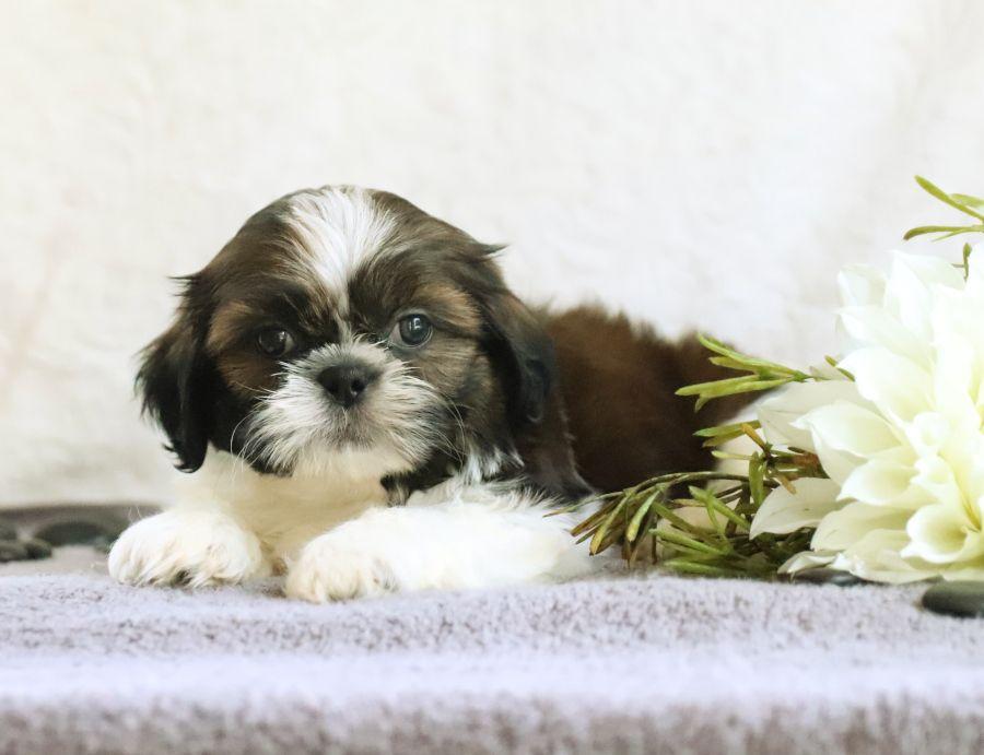 Playful Shihtzu Lancaster Puppies Puppies For Sale Shih Tzu Puppy