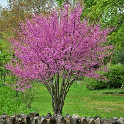 Eastern Redbud Tree Garden Eastern Redbud Flowering