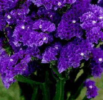 Purple statice flower for my bouquet garden pinterest purple purple statice flower for my bouquet mightylinksfo