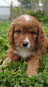 Cavoodle Puppies For Sale Pines Pets Puppies Puppies Puppies For Sale Puppy Breeds
