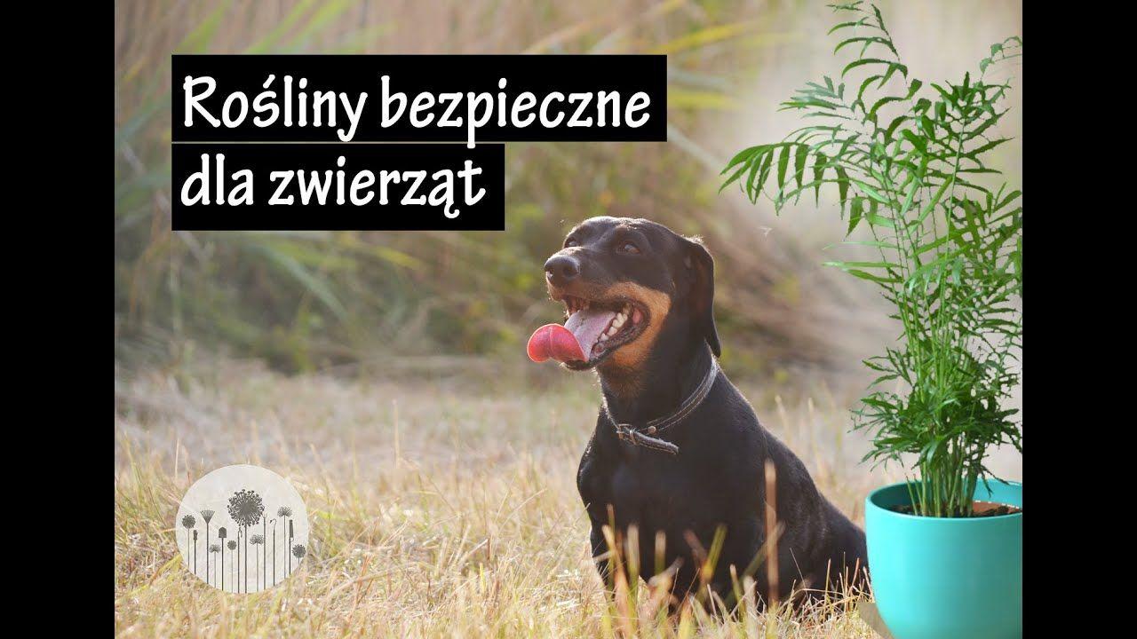 Rosliny Domowe Bezpieczne Nietrujace Dla Zwierzat 10 Roslin Przyjaznych Dla Psow I Kotow Animals Fictional Characters Dogs