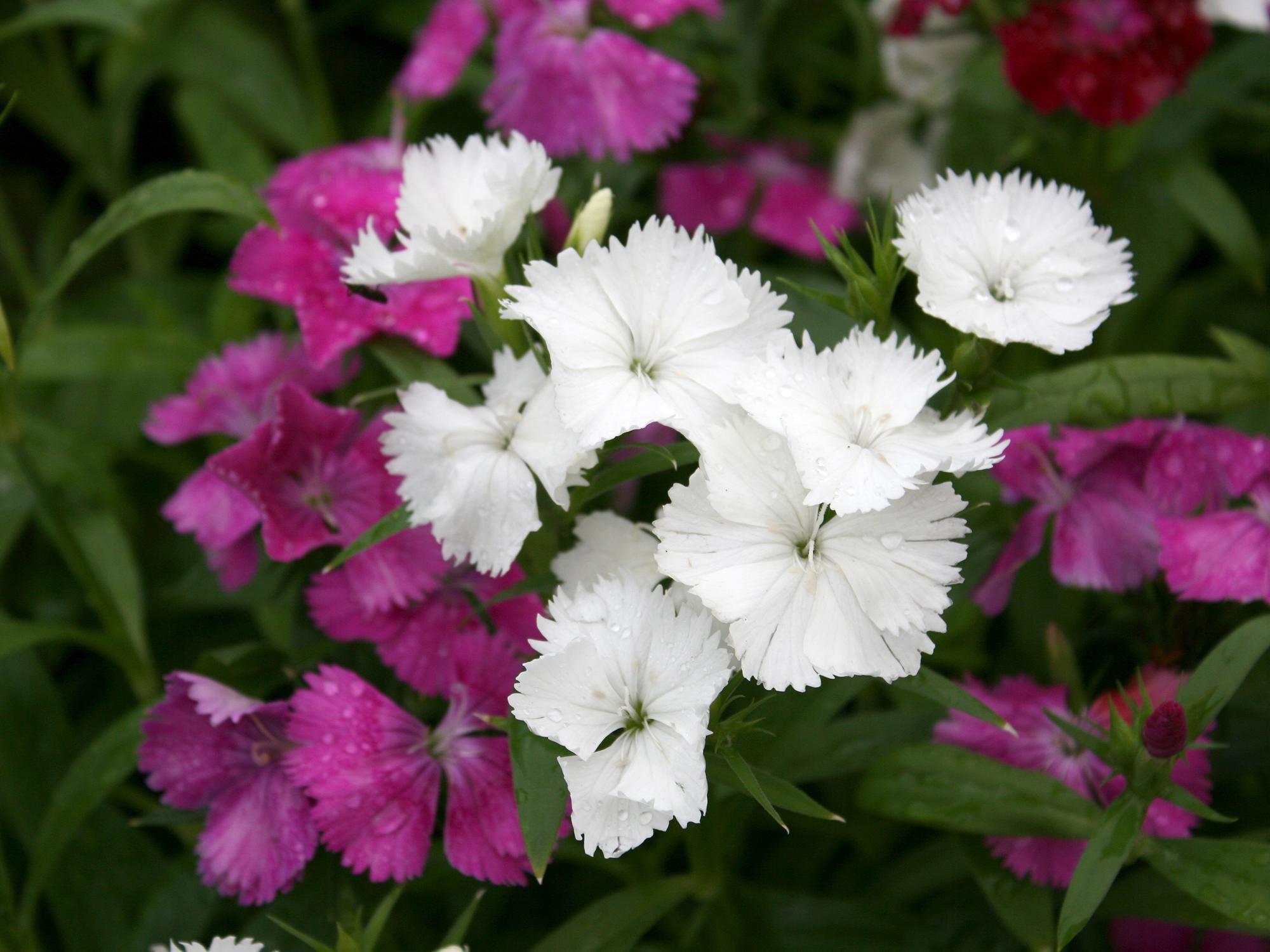 Choose Telstar Dianthus For Winter Spring Color Southern