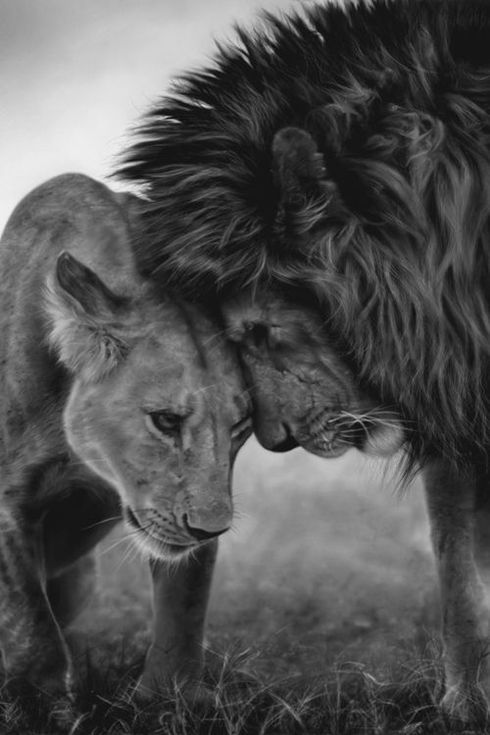 Affection is shown between animals; yet, humans do not show the affection. Lion King Love