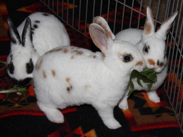 Spotted Fluffy Bunnies Https Lincoln Craigslist Org Pet 5100880824 Html Fluffy Bunny Animals Cute Animals