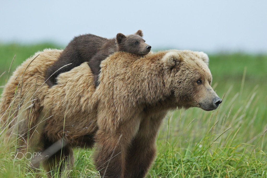 Baby bear riding his mom into the wild