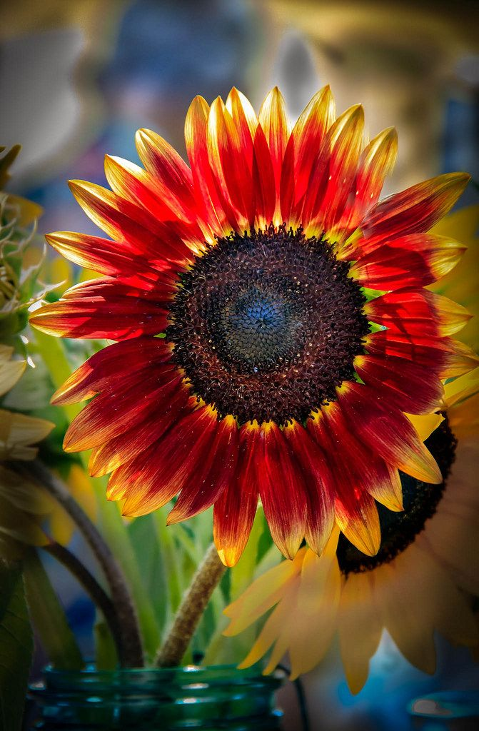 That red sunflower is so beautiful I feel like I have