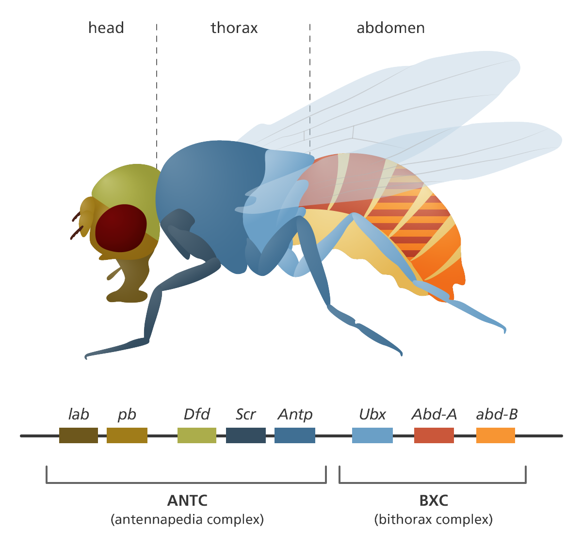 Fruit flies in the laboratory | Illustrating genomics | Pinterest