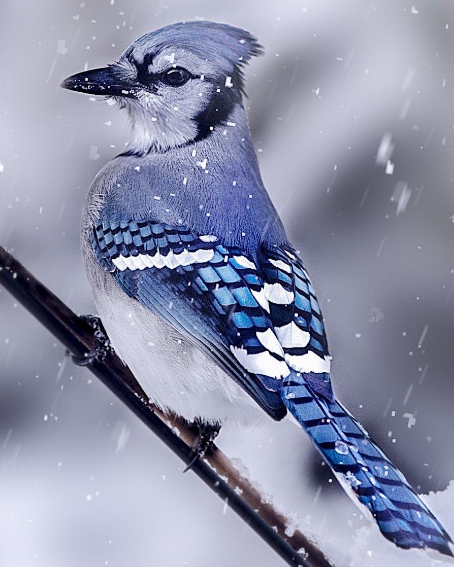 """earthandanimals """" Alert by Henry Dean """" Birds, Blue jay"""