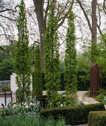 Quercus robur 'Koster' - fastigiate form of the English oak