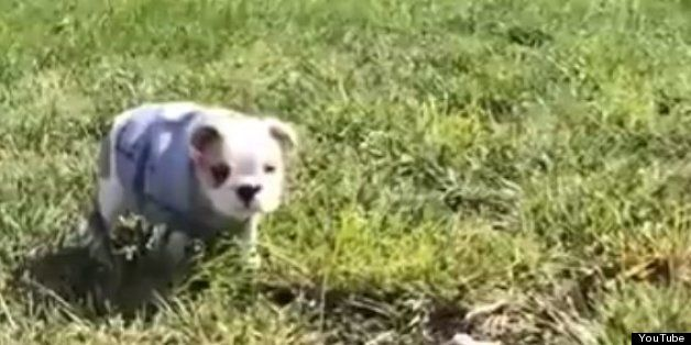 Watch Bulldog Puppy Loves Rolling Down Hills Bulldog Puppies