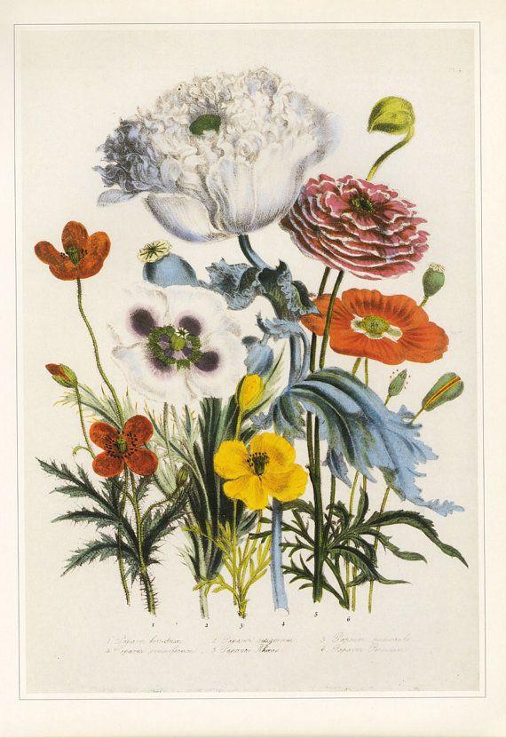 Jane loudon poppy flower print botanical book plate sale buy 3 get jane loudon poppy flower print botanical book plate sale buy 3 get 1 free mightylinksfo