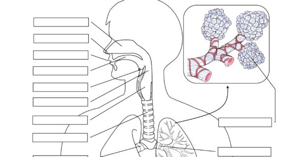 Respiratory System Printable Diagram Respiratory System | Respiratory System And Worksheets