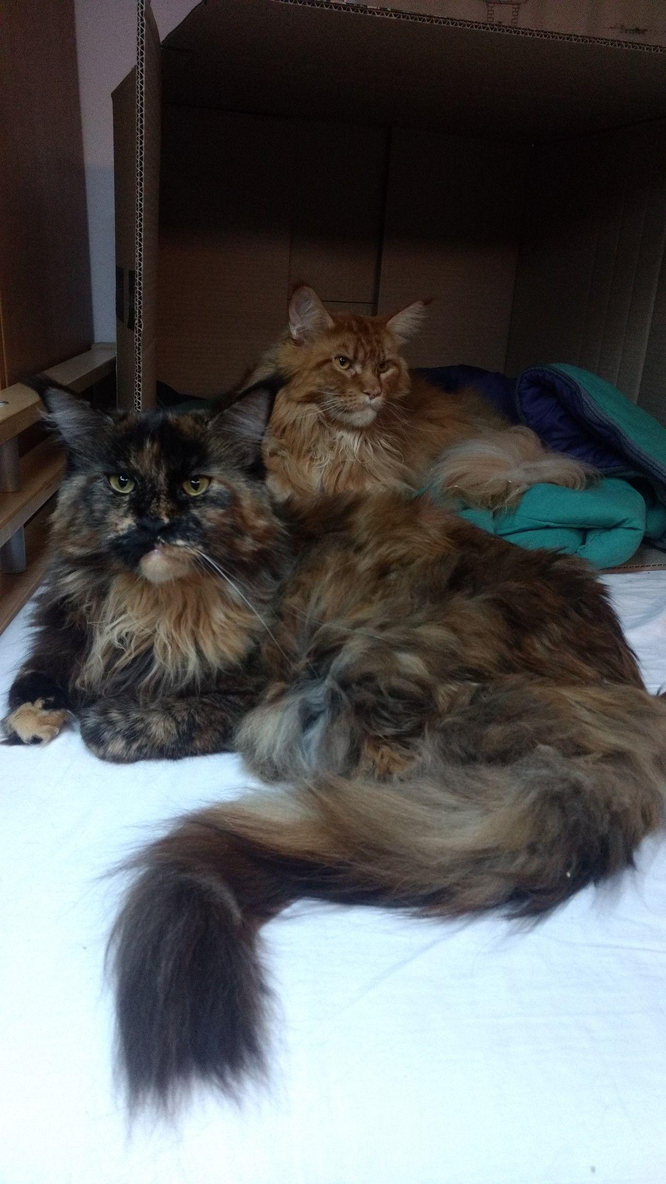 Bombay Kittens For Sale Uk