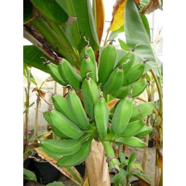 bananier musa x dwarf orinoco bananiers cannas hedychiums p pini re la maison du bananier. Black Bedroom Furniture Sets. Home Design Ideas