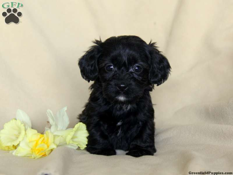 Penny Shih Tzu Mix Puppy For Sale In Pennsylvania Puppies Puppies For Sale Animal Lover