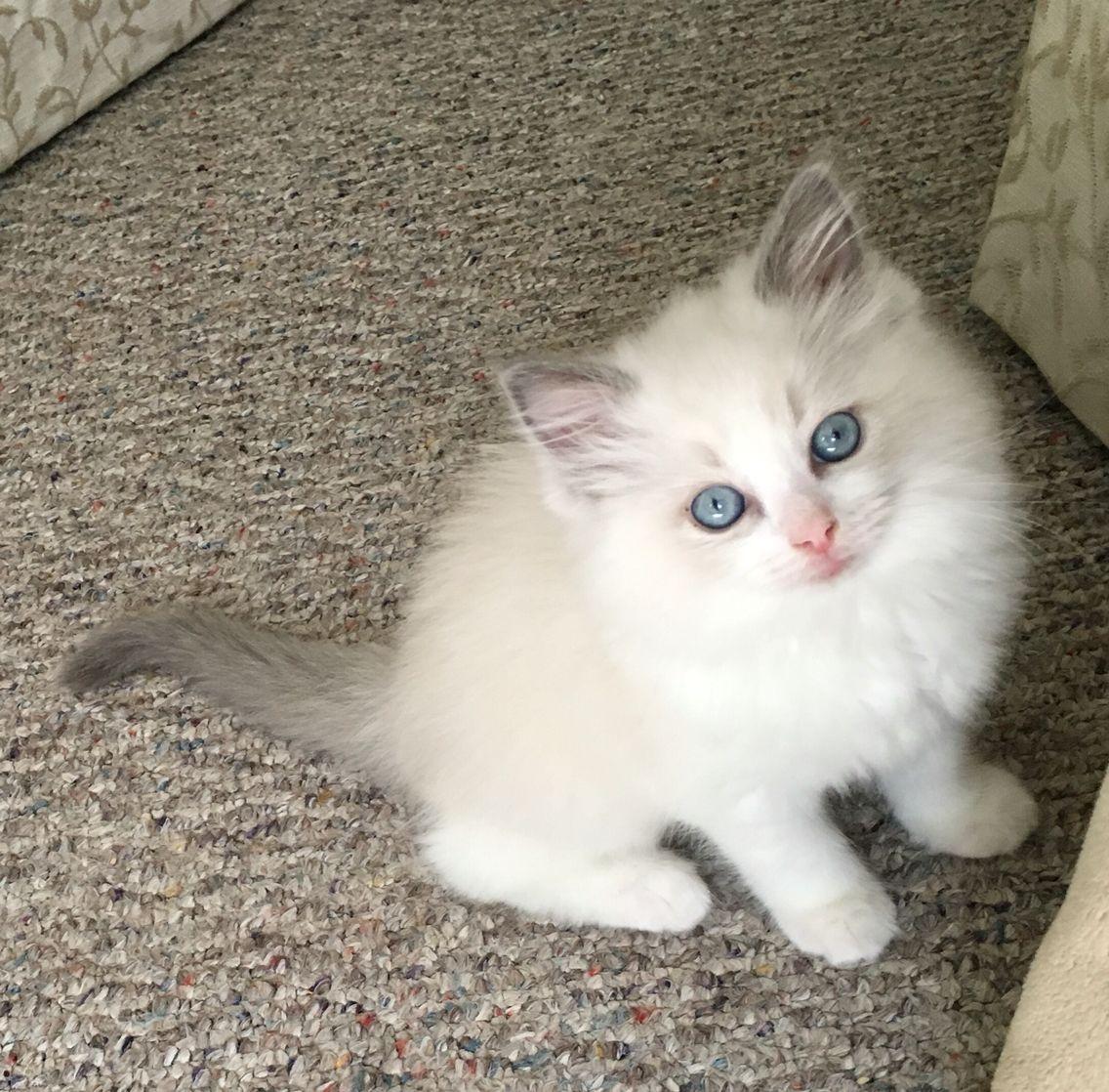 Blue Bi Color Ragdoll Kitten Sophie Belle 9 Weeks Old Cats