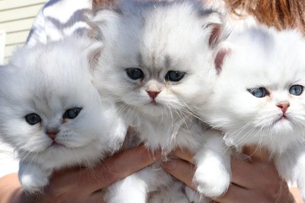 أنواع القطط الشيرازي بالصور وكيف يمكنك التمييز بينهم ق ط وات In 2021 Persian Kittens Cats Kittens