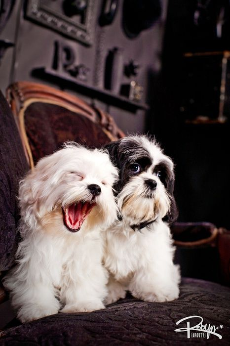 Shih Tzu On Chair Robyn Arouty Photographer