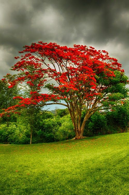 Flamboyan Tree in Puerto Rico by Rene Rosado Delonix regia is a species of flowering plant in the family Fabaceae, subfamily Caesalpinioideae. It is noted for its fern-like leaves and flamboyant display of flowers #Landscape #nature #photo #image