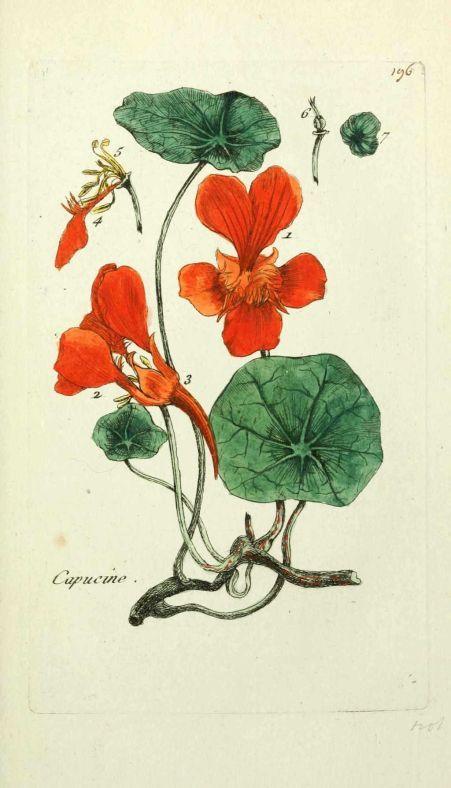 Grande capucine dans le jardin de nombreuses fleurs sont comestibles la capucine poivr e - Les champignons de jardin sont ils comestibles ...