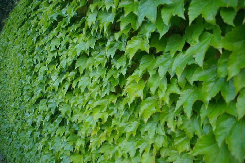 Hedera Helix Plant Enredaderas Trepadoras Plantas Enredaderas