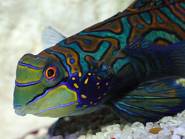 Goby fish saltwater live saltwater fish mandarin goby for Saltwater goby fish